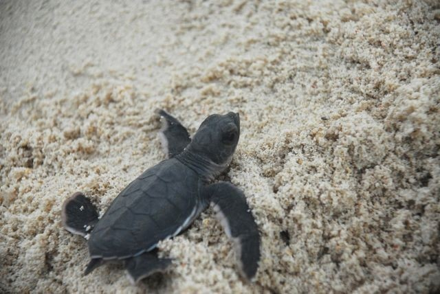 Endangered turtle baby boom in Philippines
