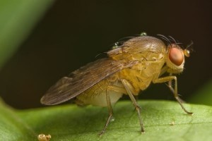 Jilted fruit flies slurp alcohol to forget: study