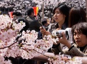 Japan gets back its cherry blossom fever