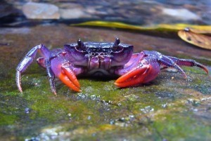 New purple crab species found in Philippines