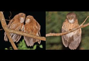 New owl species discovered in Cebu, Camiguin