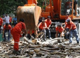 Philippines first in Asia to destroy ivory tusks