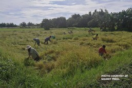 PHL palay output up by 4.61%