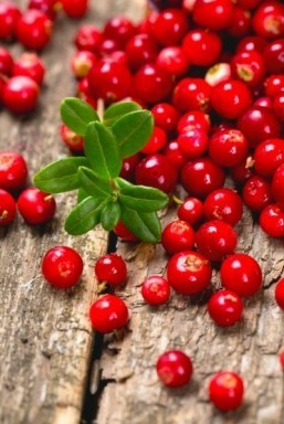 Lingonberries could prevent obesity and diabetes: study