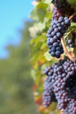 Don't whine about the price: Japan grapes sell for $8,000