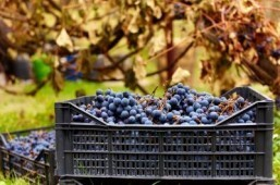 Grape-slinging food fight marks end of grape harvest in Spain