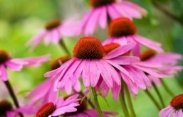 Evidence 'mixed' regarding echinacea as cold treatment